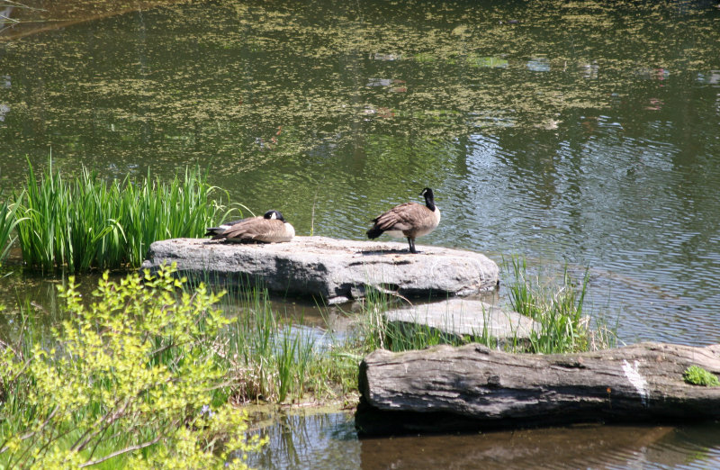 Canadian Geese at Turtle Pone