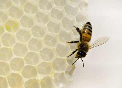 Honey Bee on Fresh Comb