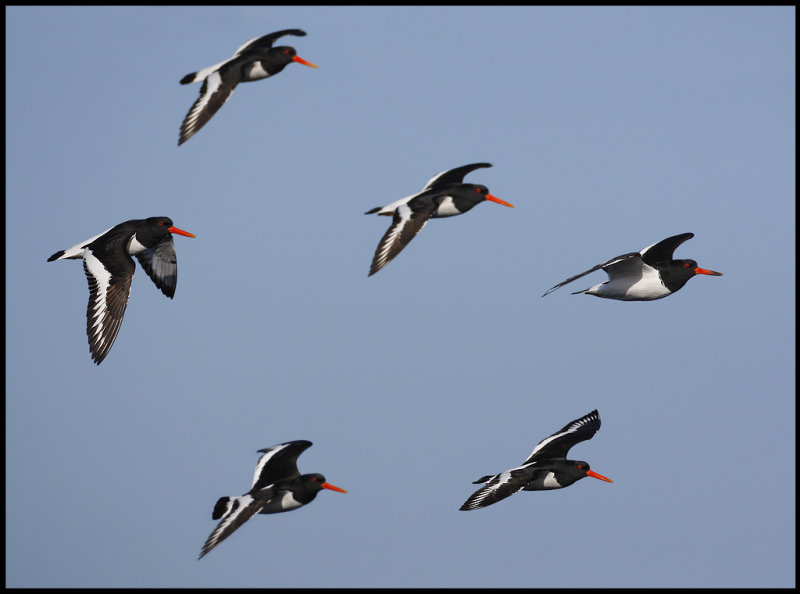 Oystercatchers at Sumburgh