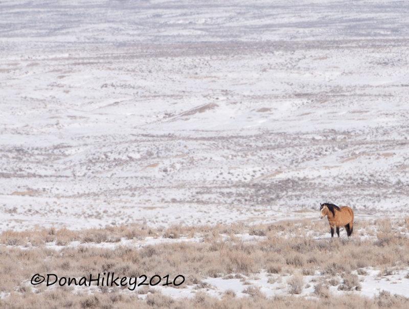 Nomad, Sand Wash Basin HMA band stallion