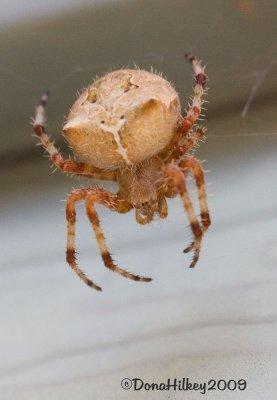 Cat Faced Spider Species Araneus Gemmoides Photo Hilkey