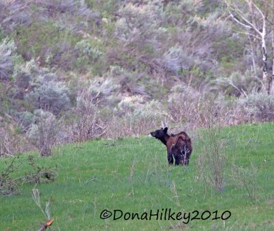 BlackBear-28May2010-TimberGulch.jpg