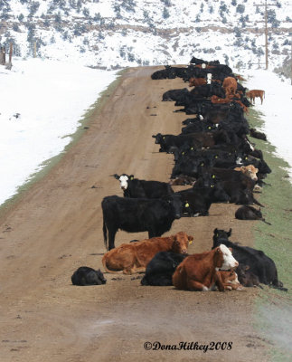 When it snows in May this is where cows nap