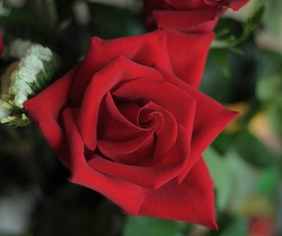 rose_1976.jpg