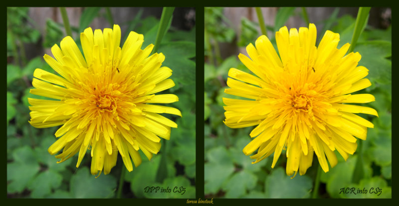 DPP v ACR - Yellow flower - s90 - DPP and ACR into CS5 - IMG_0034