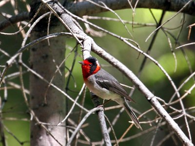 IMG_9177 Red-faced Warbler.jpg