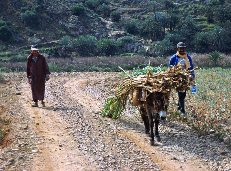 Working Donkey, Morocco