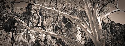 Glorious Gum tree at Windjana Gorge