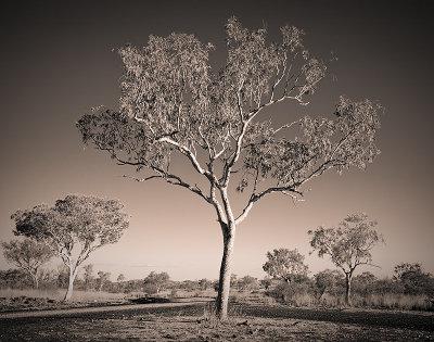 Kimberley Gum Tree in Duotone