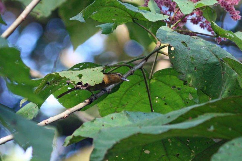 Buff-fronted Foliage-gleaner, Tarapoto
