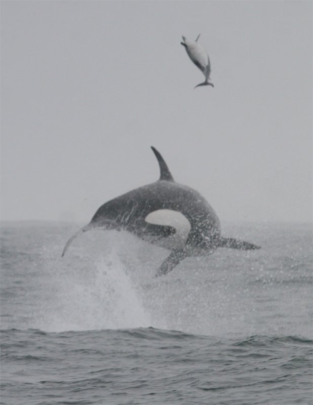 Orca & Common Dolphin