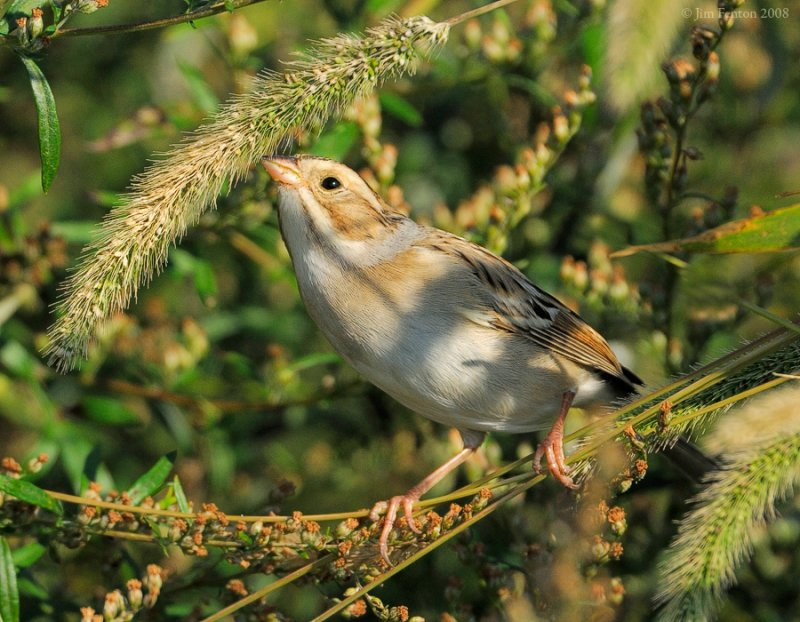 _NW80254 Clay Colored Sparrow