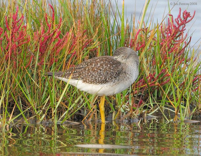 _NW89061 Lesser Yellow Legs ~ Fall Marsh