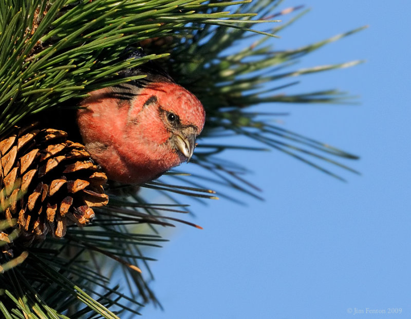 _NW86164 White Wing Crossbill
