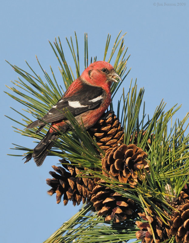 _NW86129 White Wing Crossbill
