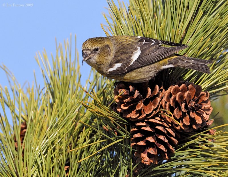 _NW86270 Female White Winged Crossbill