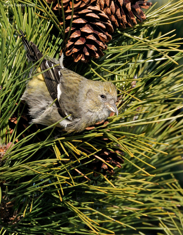 _NW86272 Juvenile White Winged Crossbill