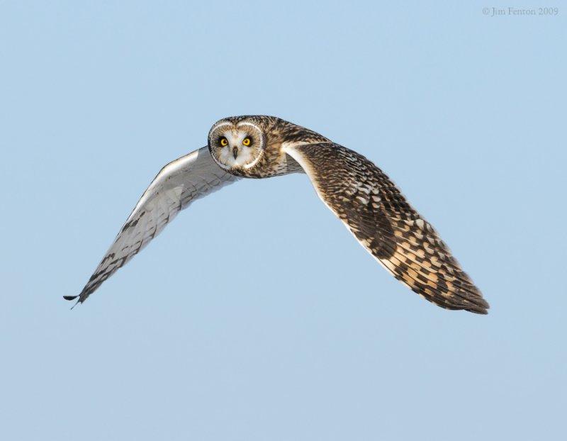 _NW86462 Short Eared Owl in Flight