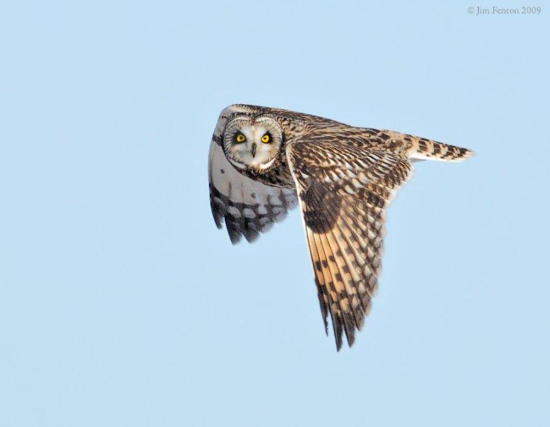 _NW86525 Short Eared Owl in Flight