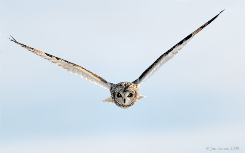 _NW86597 Short Eared Owl in Flight