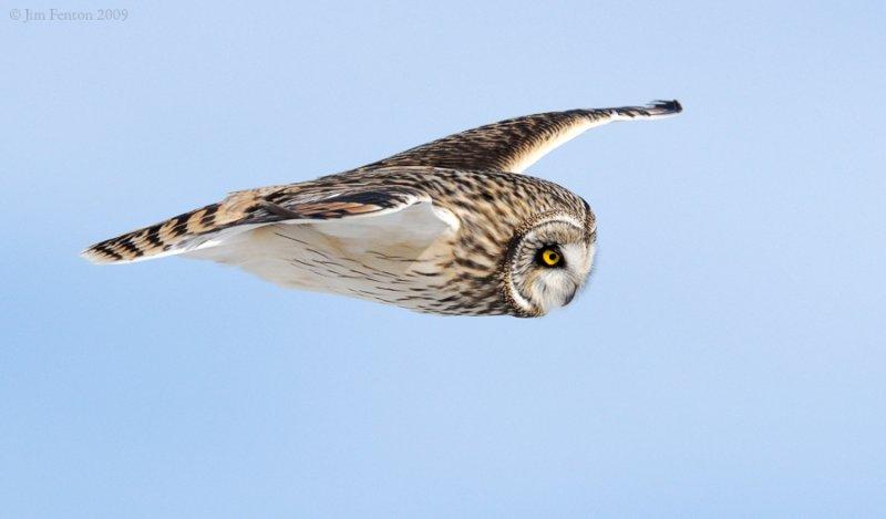 _NW86614 Short Eared Owl in Flight