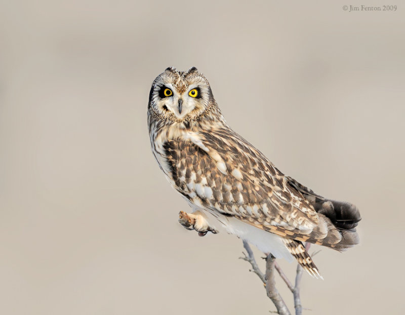 _NW86662 Short Eared Owl Perched.jpg