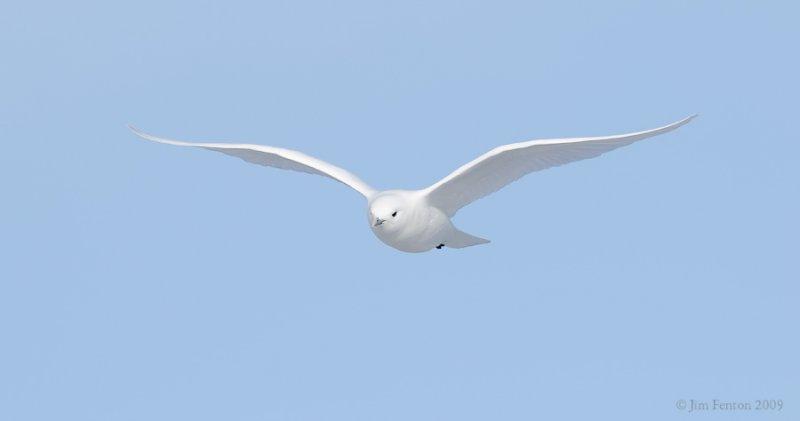 _NW97837 Ivory Gull In Flight