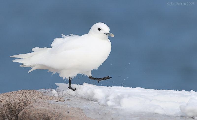_NW98033 Ivory Gull