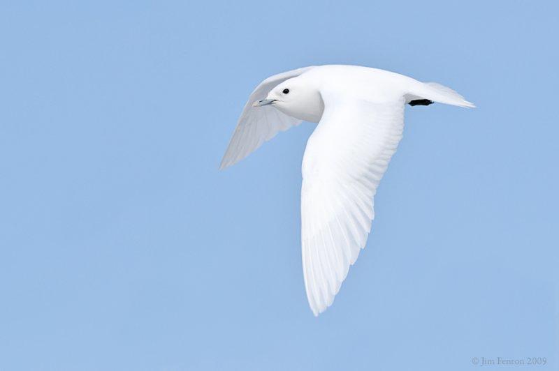 _NW98187 Ivory Gull In Flight