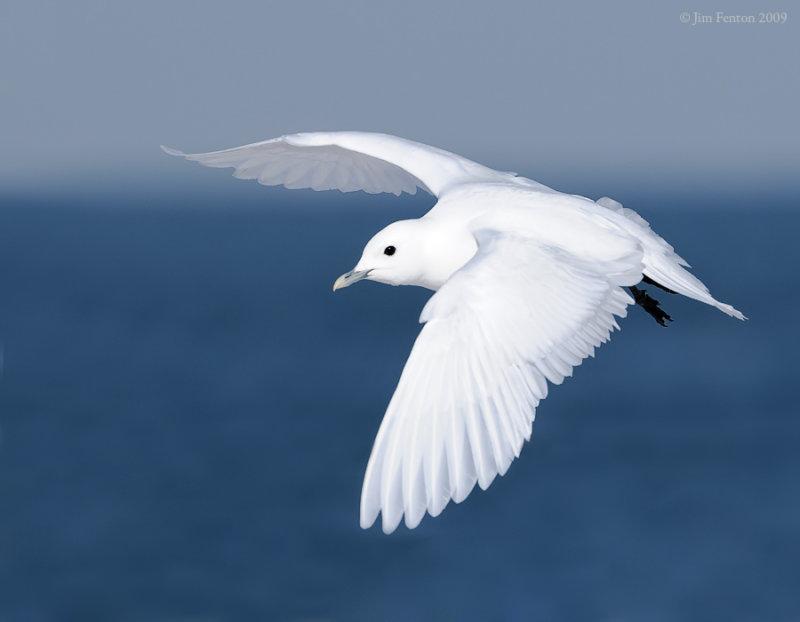 _NW98324 Ivory Gull In Flight