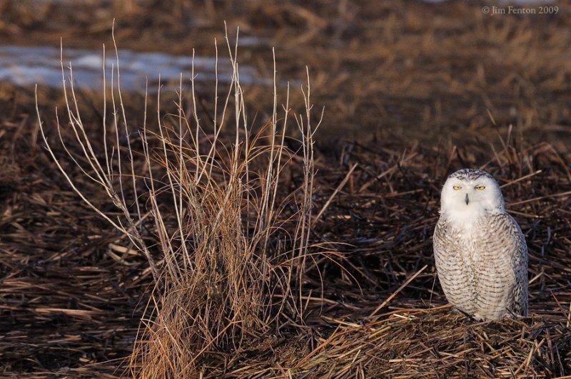 _NW91194 Snowy owl in marsh.jpg
