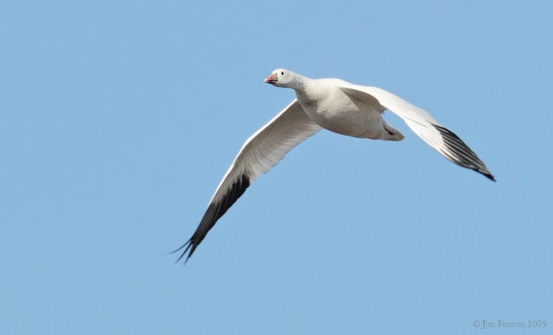 _NW91686 Rosss Goose in Flight.