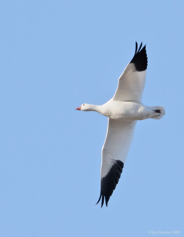_NW91766 Rosss Goose in Flight.