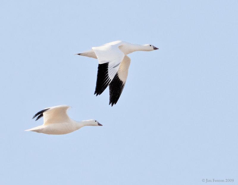_NW91774 Rosss Goose in Flight.