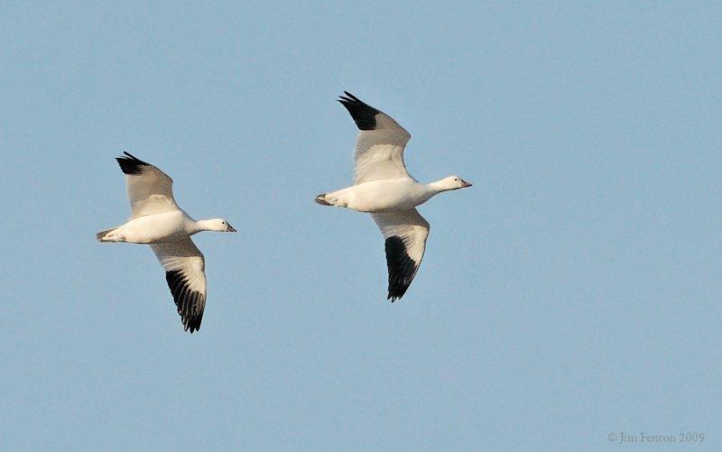 _NW91779 Rosss Goose in Flight.