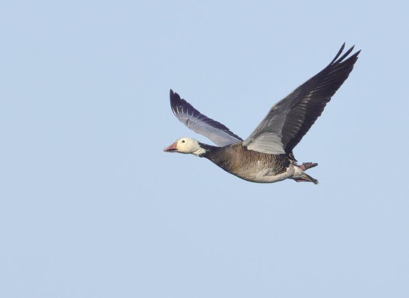_NW91890 Snow Goose in Flight.