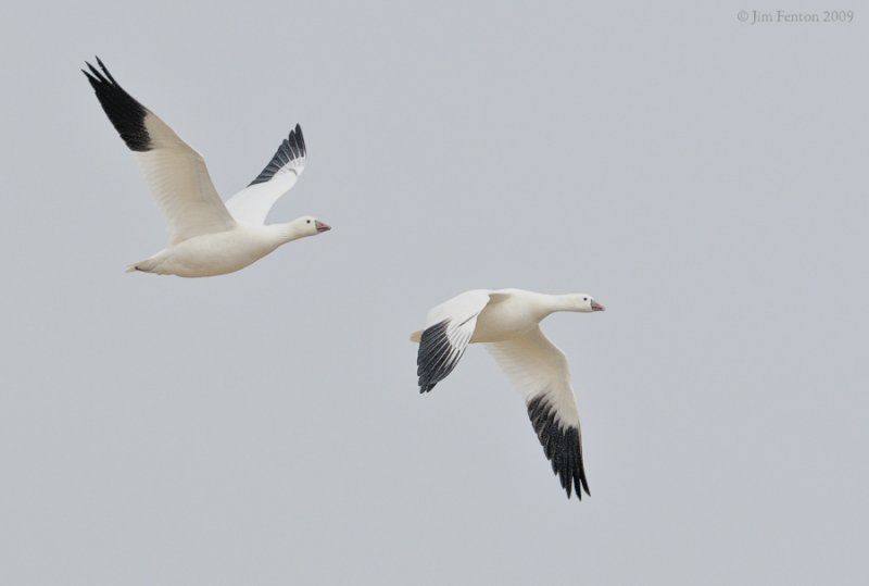 _NW92054 Rosss Goose in Flight.