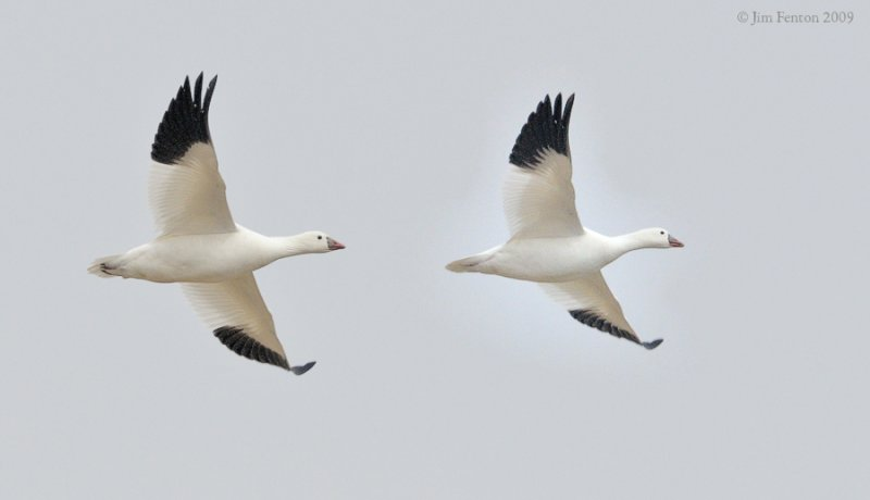 _NW92060 Rosss Goose in Flight.
