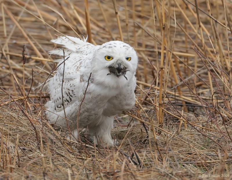 _NW92440 Snowy Owl Swallowing Vole.jpg