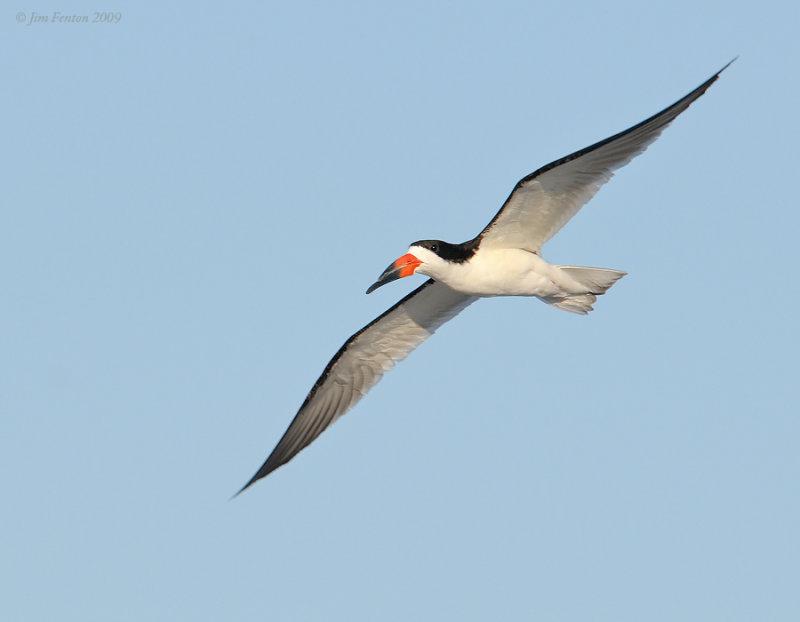_NW90188 Black Skimmer in Flight.jpg