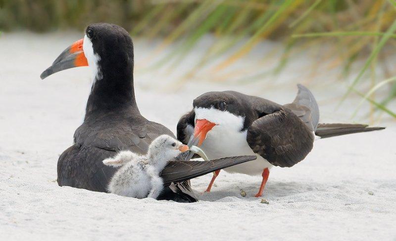 _NW90512 Black Skimmer Parents Feeding Chick.jpg