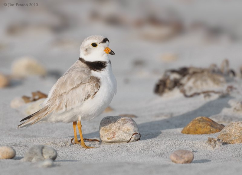 _NW07593 Piping Plover Adult