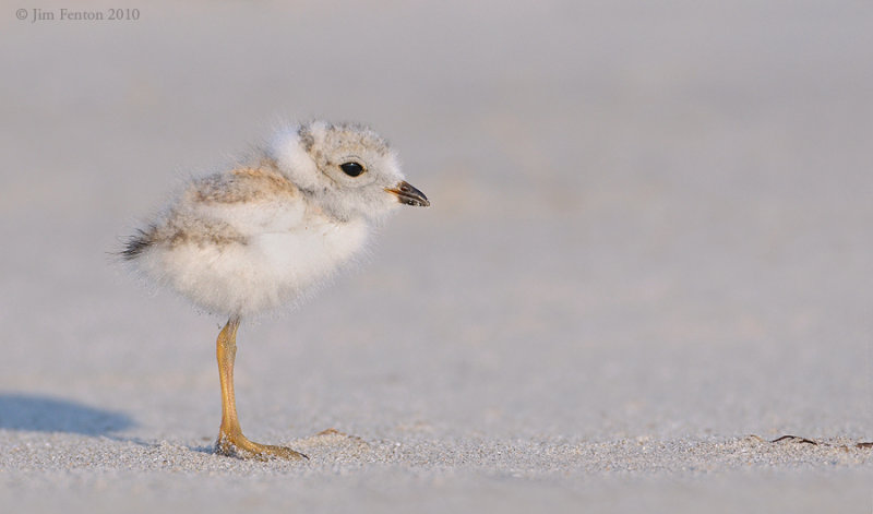 _NW07676 Piping Plover Chick