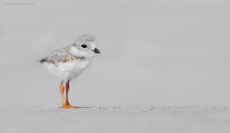 _NW07784 Piping Plover Chick