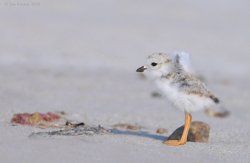 _NW07795 Piping Plover Chick Wing Stretch