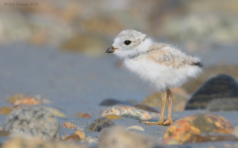 _NW07848  Piping Plover Chick Gravel Beach