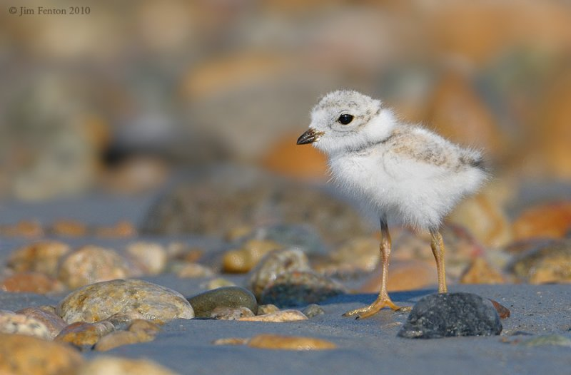 _NW07893  Piping Plover Chick Gravel Beach