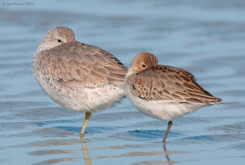 Red Knot and Dunlin at Rest