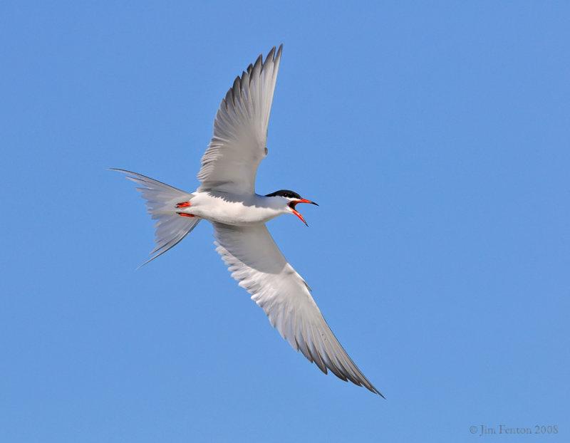 _NW84105 Common Tern