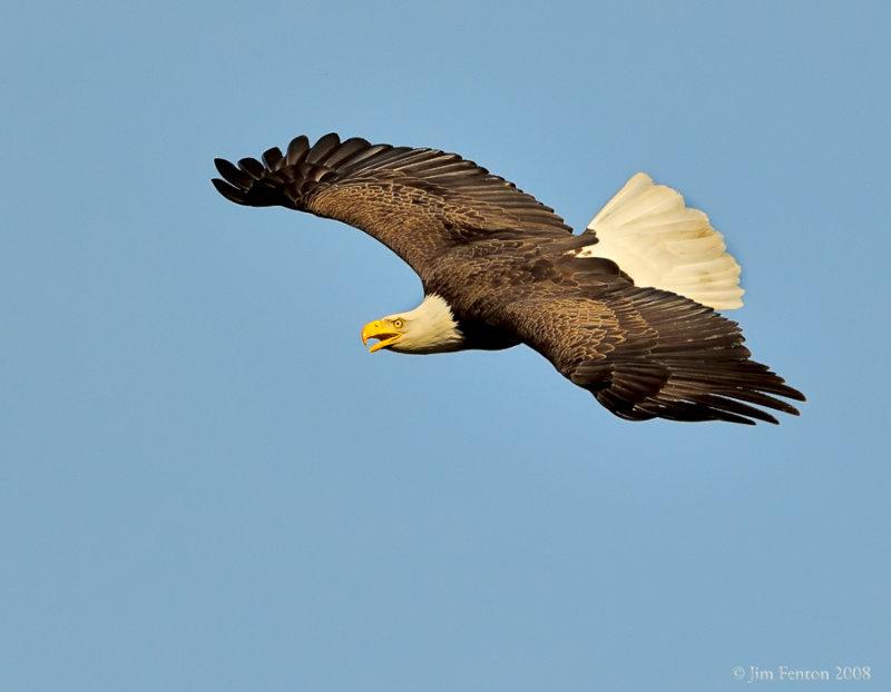 _NW80063 Bald Eagle Female in Flight